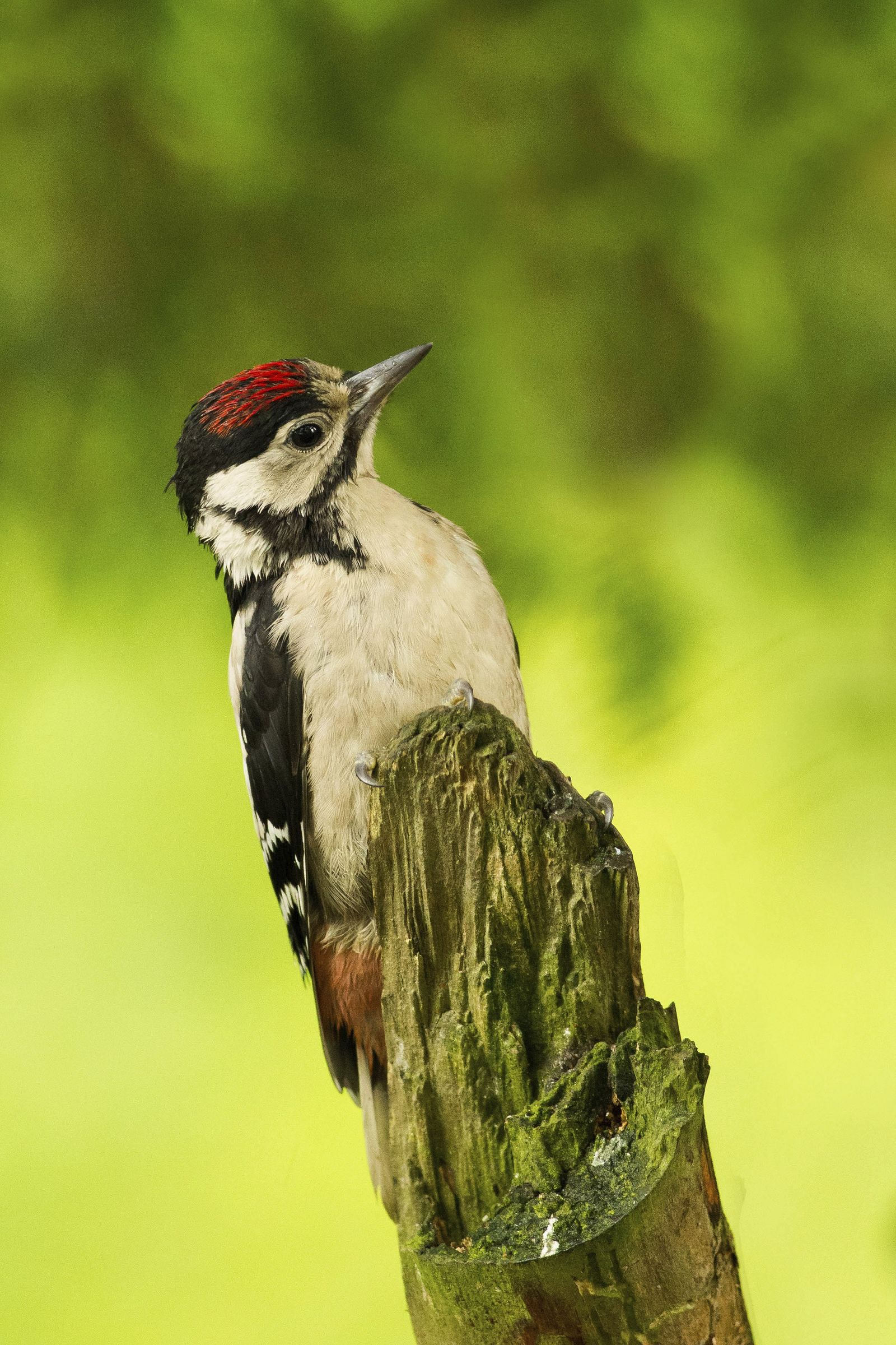 Juvenile great spotted woodpeckers have a red crown.
