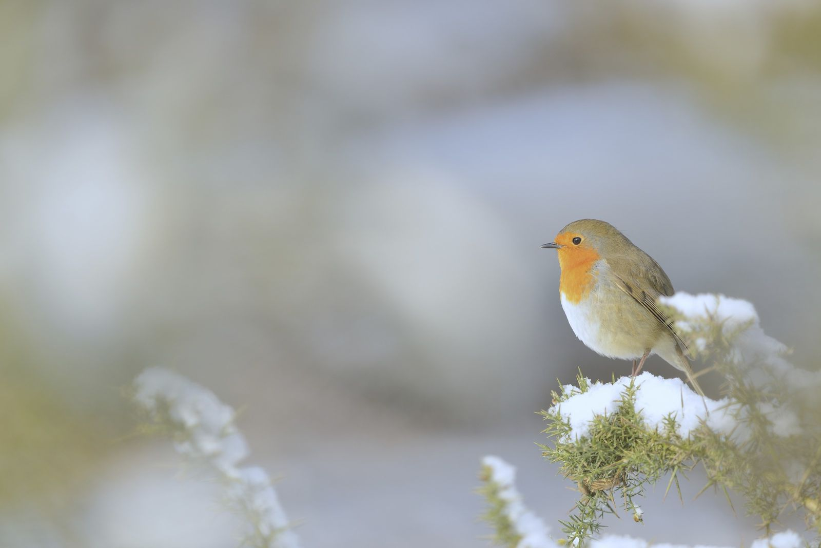 Male robins may hold the same territory throughout their lives, singing (and fighting) to defend their ...