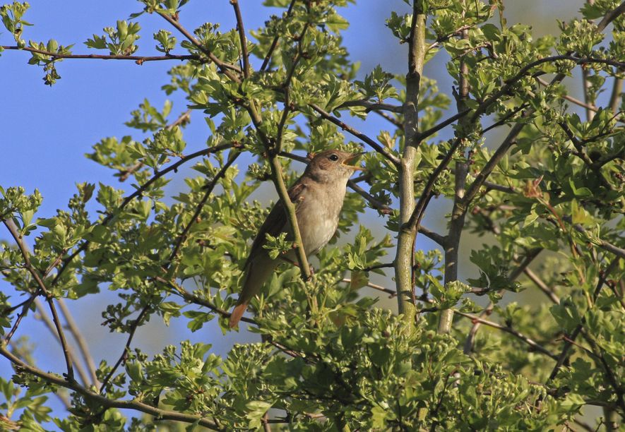 Numbers of nightingales have crashed by around 90% in fifty years.
