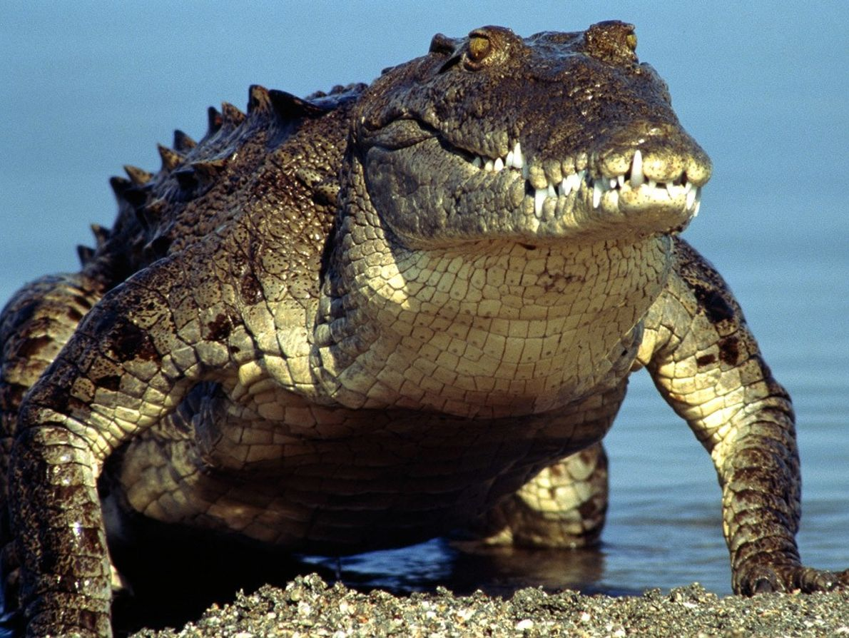 Critically endangered, the prehistoric-looking American crocodile struggles to survive in pockets of shrinking habitat.