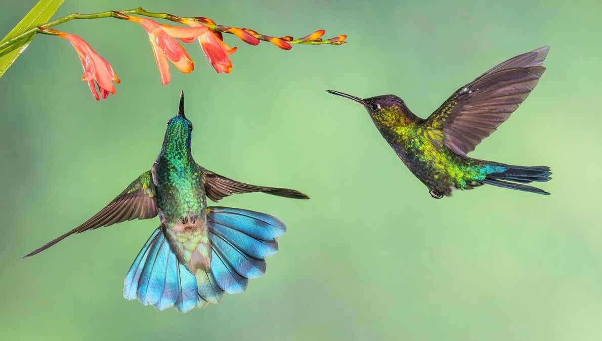 Given their tiny size, it's surprising to discover that hummingbirds are some of nature's most fiercely ...