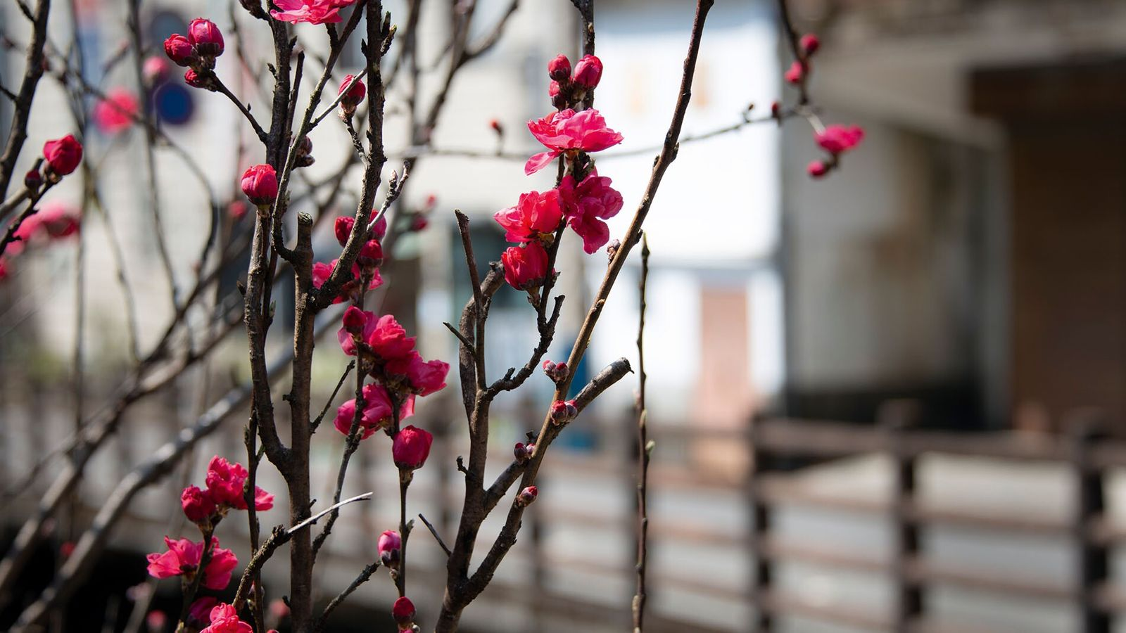 Red cherry blossoms bloom in the remote mountain village of Yunomine in spring, home to what's ...