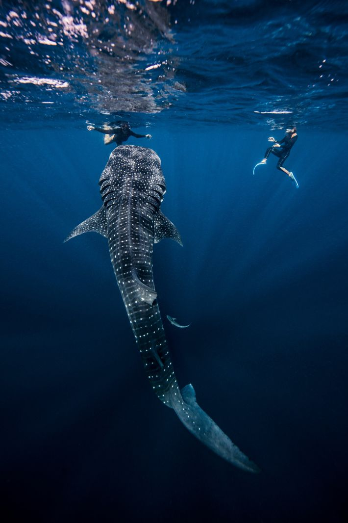 Divers swimming with a whale shark, near Cancún, Mexico.