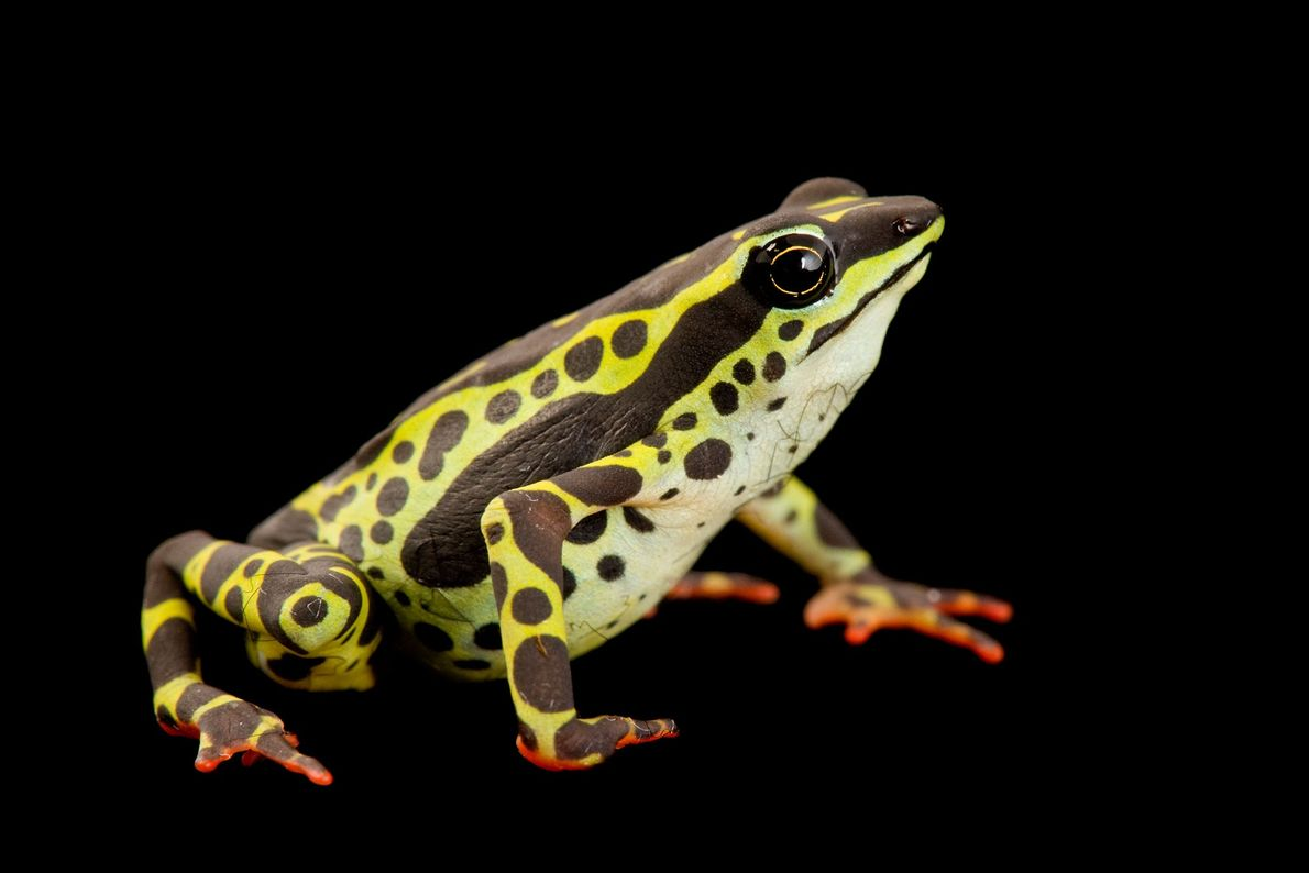 A rare pebas stubfoot toad ('Atelopus spumarius') at the Catholic University of Ecuador.