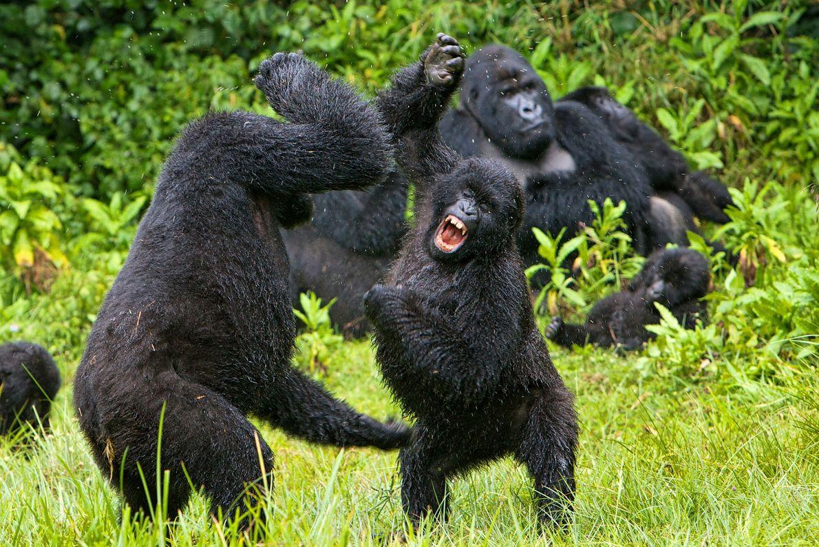 Gorillas battle in Rwanda.