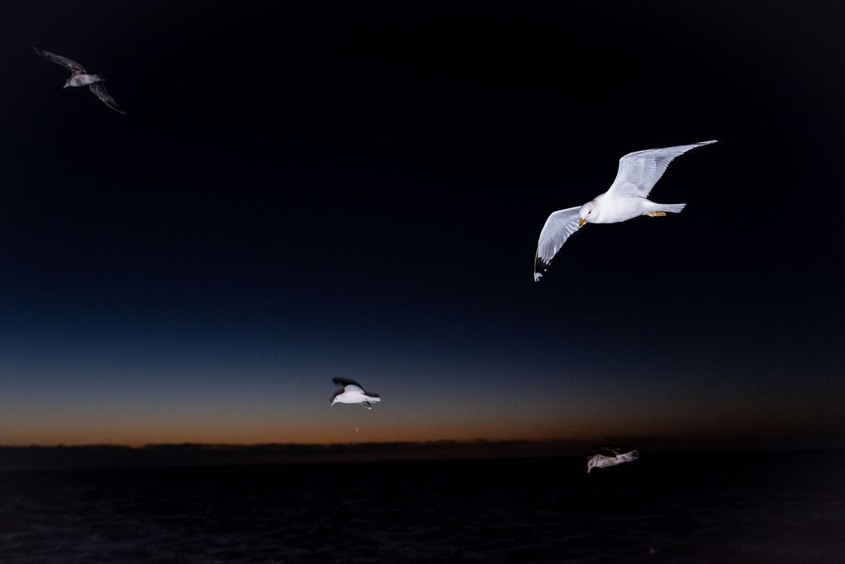 Yellow-footed gulls fly at night over the San Ignacio Lagoon in Mexico.