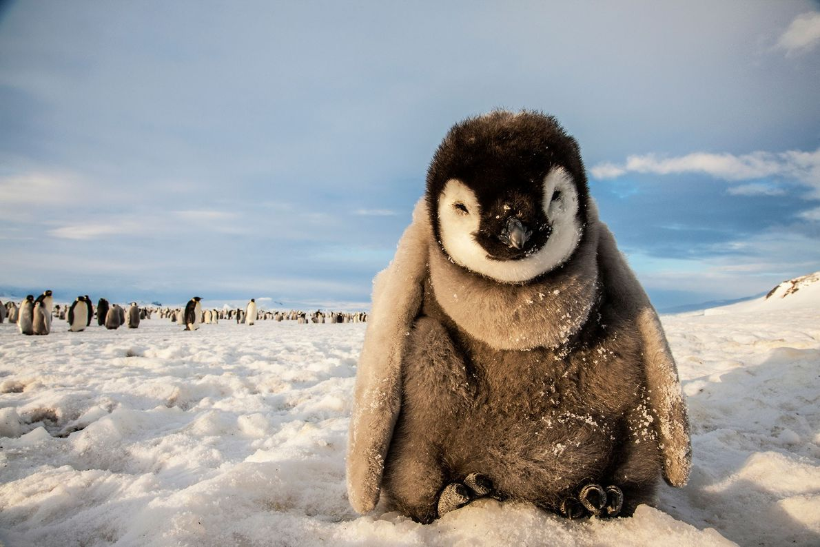 Emperor penguin, Mario Zuchelli Base, Ross Sea, Antarctica.