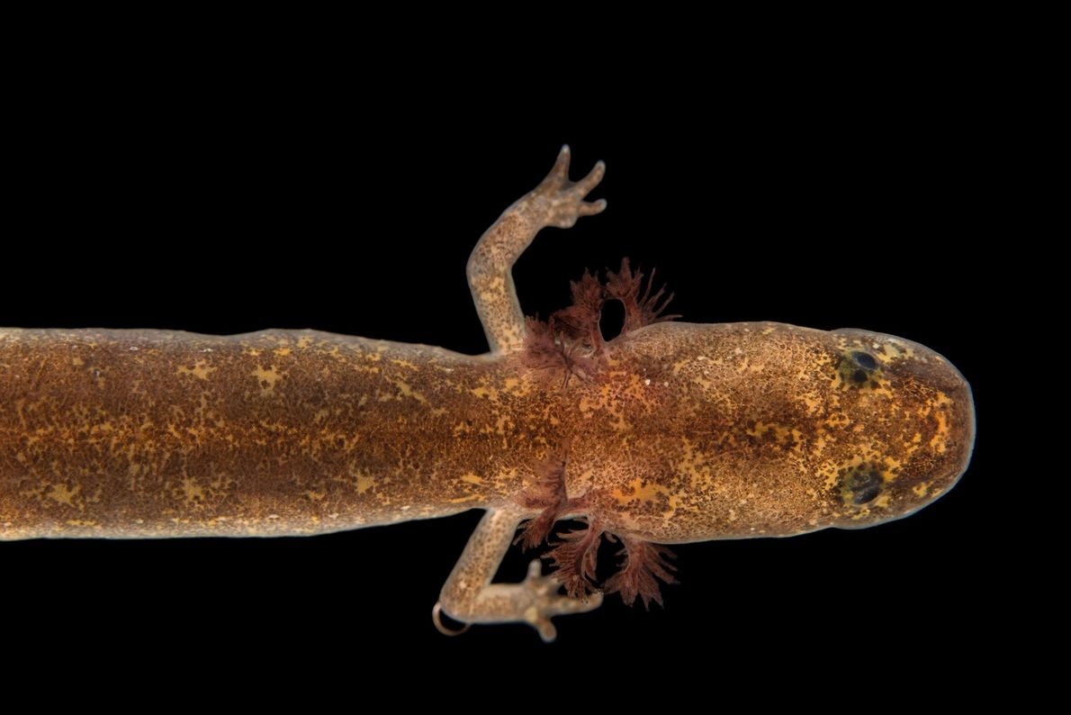 A salado salamander, Eurycea chisholmensis, at the Dallas Zoo.