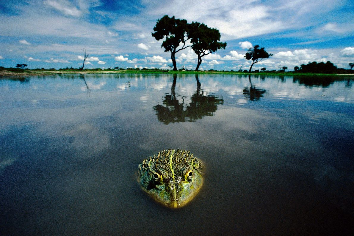 An African bullfrog emerges from the water in Chobe National Park, Botswana.