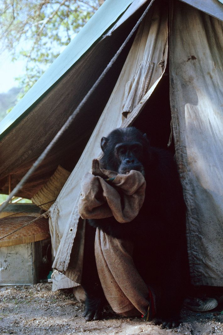 Indulging a passion for chewing on cloth, David absconds with the cook's blanket. To win the ...