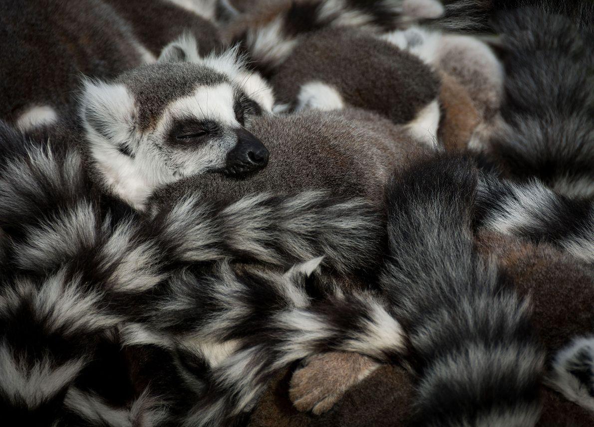 A conspiracy of lemurs take a nap.