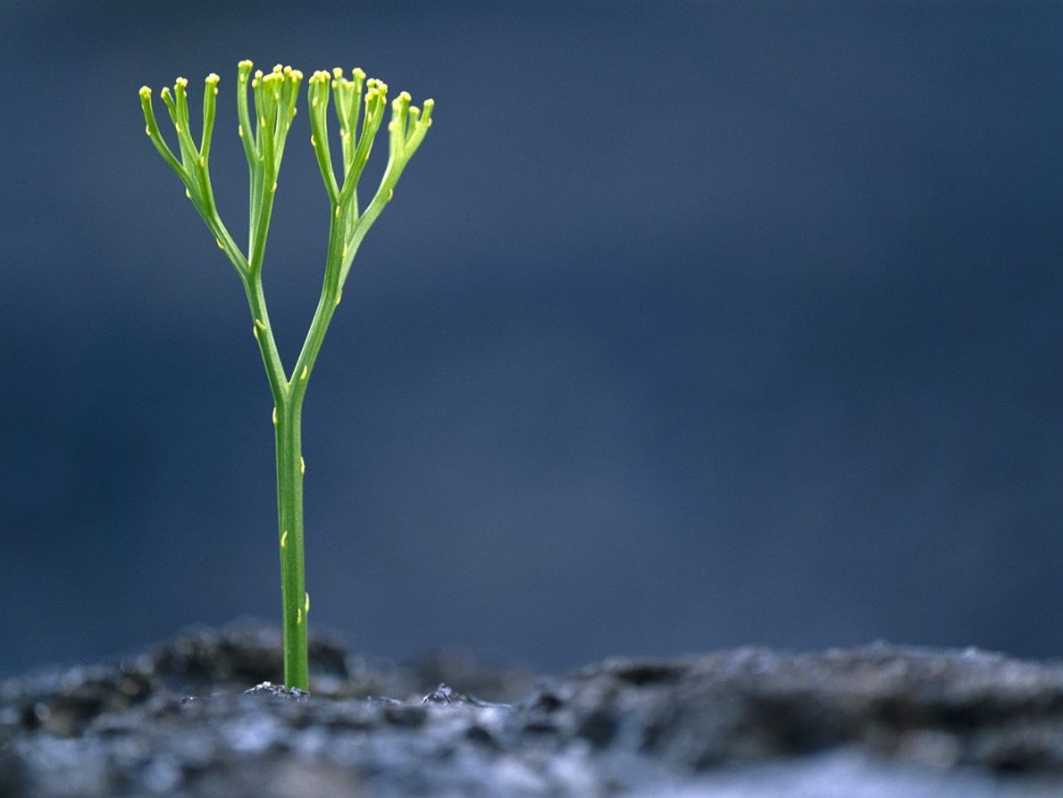 A whisk  fern grows from recently cooled lava in Hawaii Volcanoes National Park,  Hawaii. ...