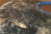 New Mexico officials seized this seven-foot American alligator (seen here at his new home, the ABQ ...