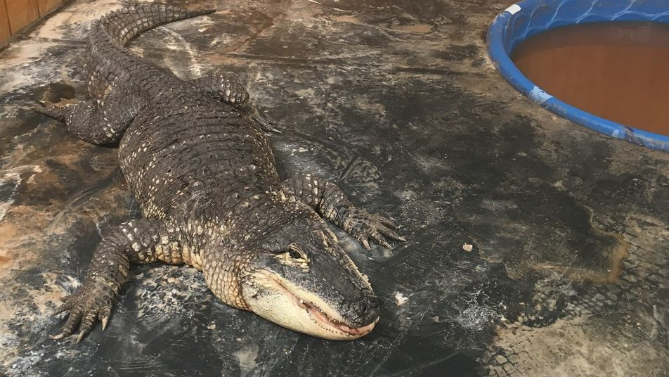 Alligators make terrible pets: 'You're basically dealing with a dinosaur.'