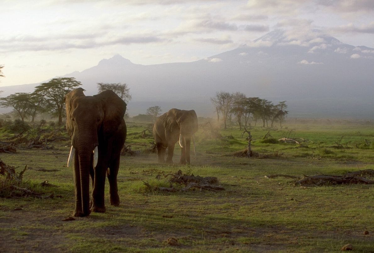 Picture of elephants grazing in marshland in Kenya with Mount Kilimanjaro in the background