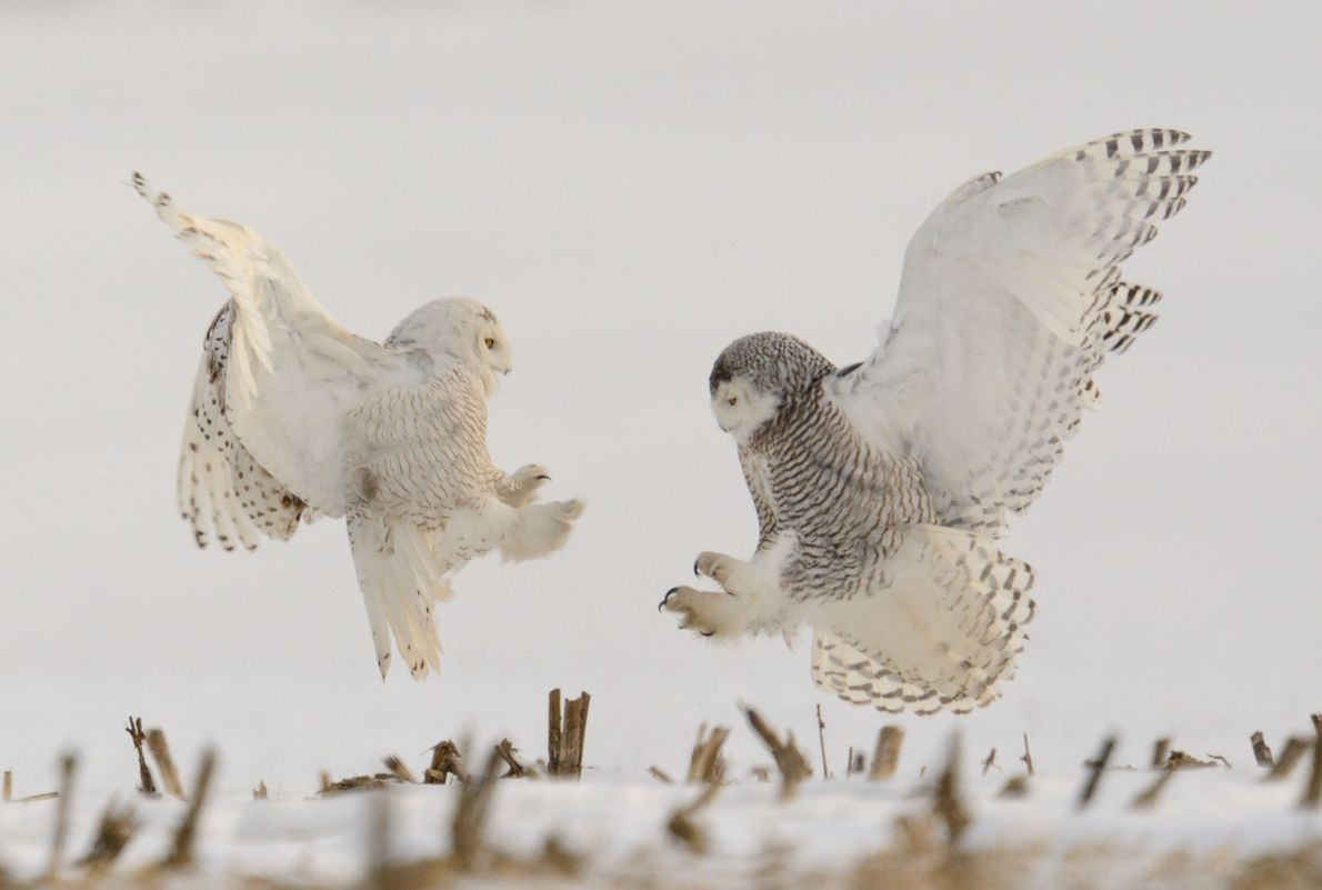 Snowy owls confront each other in Pennsylvania.