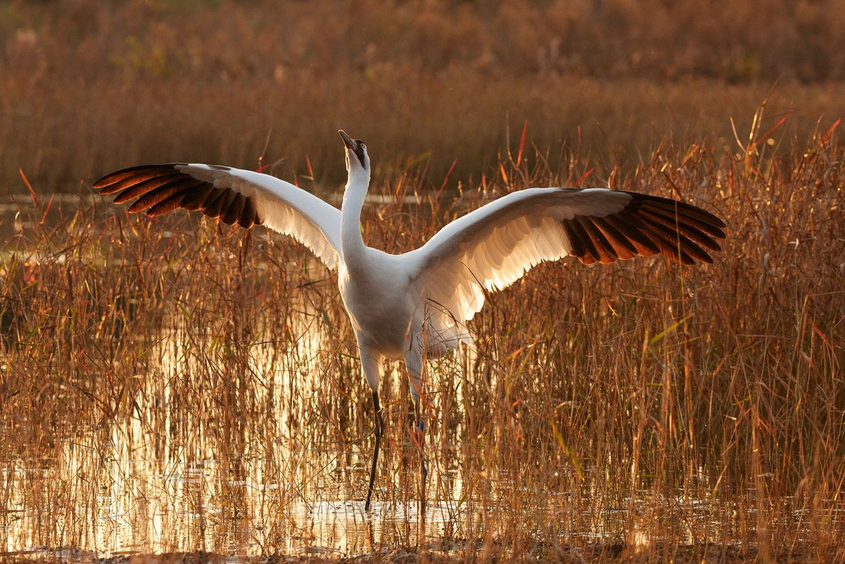 Whooping crane, poses in defence, Florida, United States.