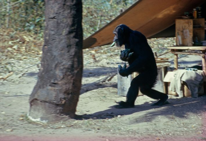 Camp raider proves a scientific point. Walking erect, banana-loaded David dispels the belief that chimpanzees travel ...