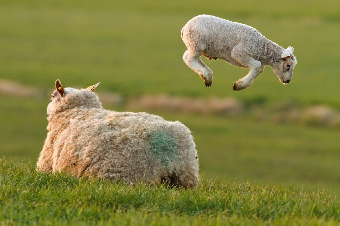 A lamb jumps around a meadow.