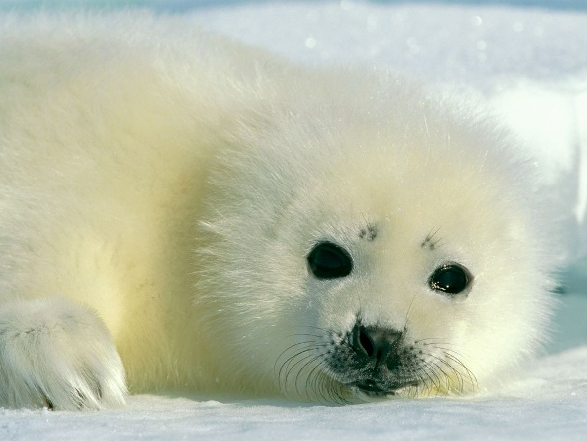 A baby harp seal rests on the Arctic ice. Its mother can distinguish it from hundreds ...