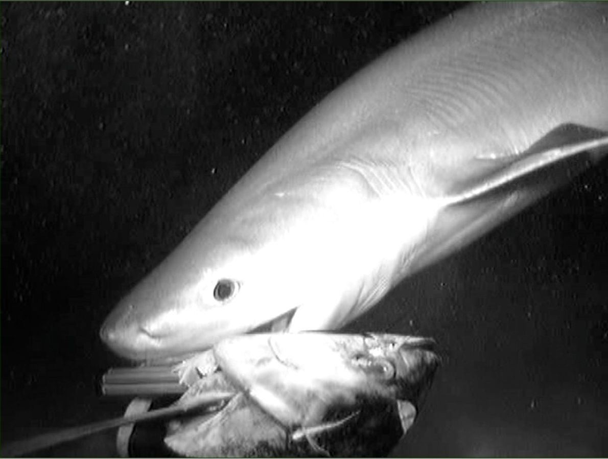 Taking the scientists' bait, a sixgill shark's attack 4,600 feet (1,400 meters) below the surface of ...