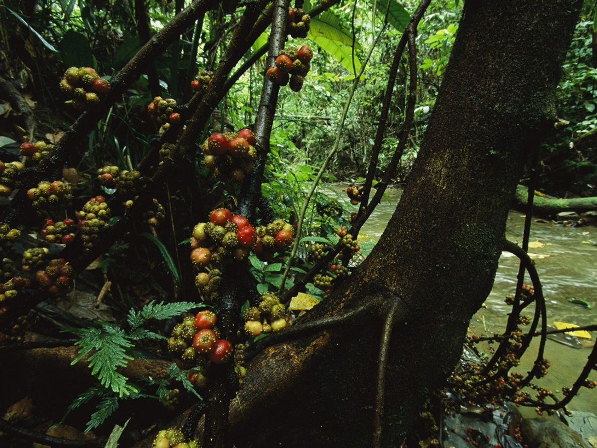 Limited space in dense rainforests results in many unique plants, like this fig tree in the ...