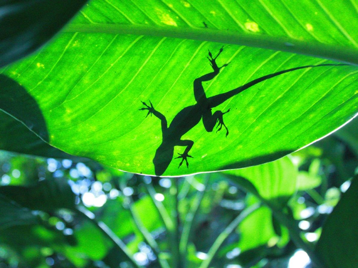 A lizard suns itself on a leaf in the El Yunque National Forest in Puerto Rico. ...
