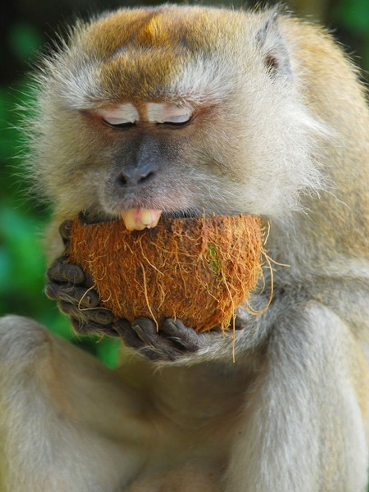 A monkey from the Malaysian rain forest digs into a coconut snack. Malaysia is still heavily ...