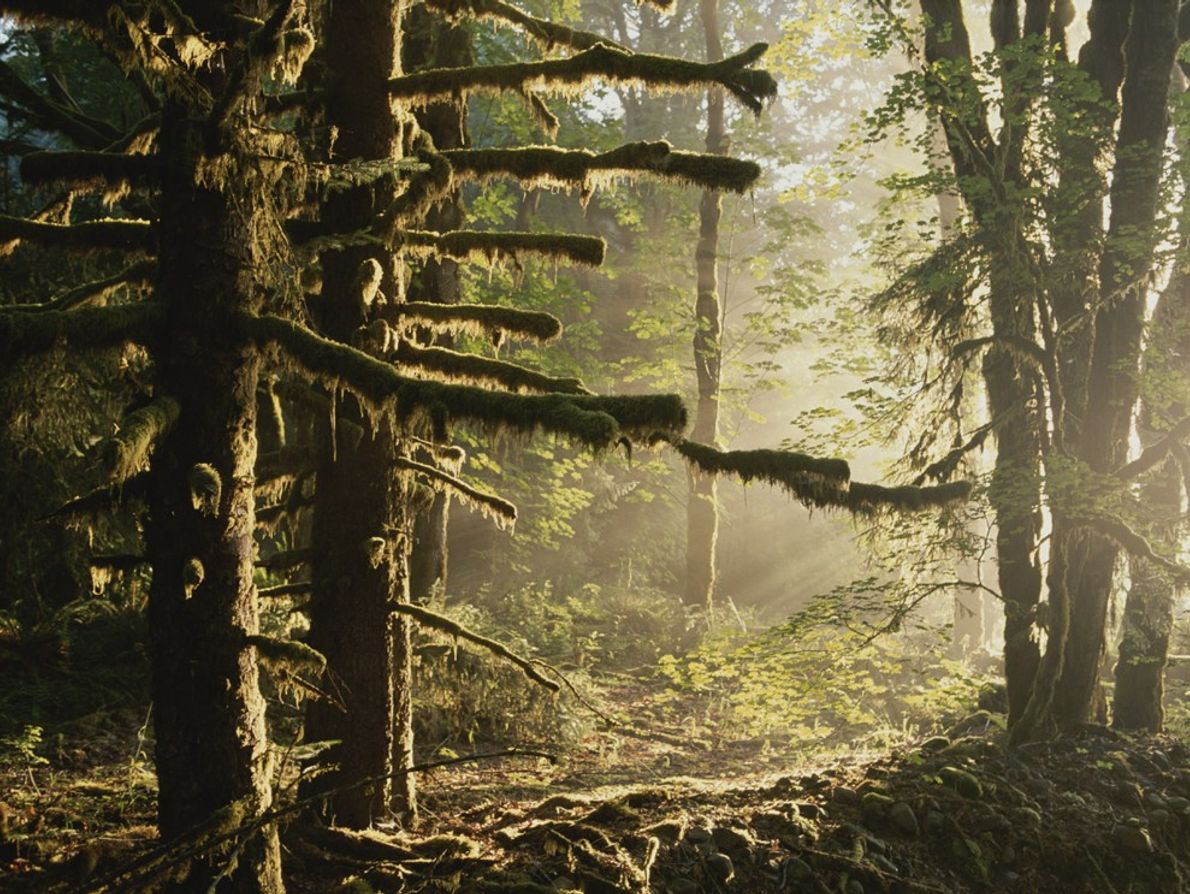 Moss drapes a stand of sitka spruce in the Hoh River Valley, a U.S.  temperate ...