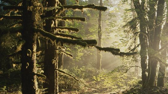 Moss drapes a stand of Sitka spruce in the Hoh River Valley, a U.S. temperate rainforest ...