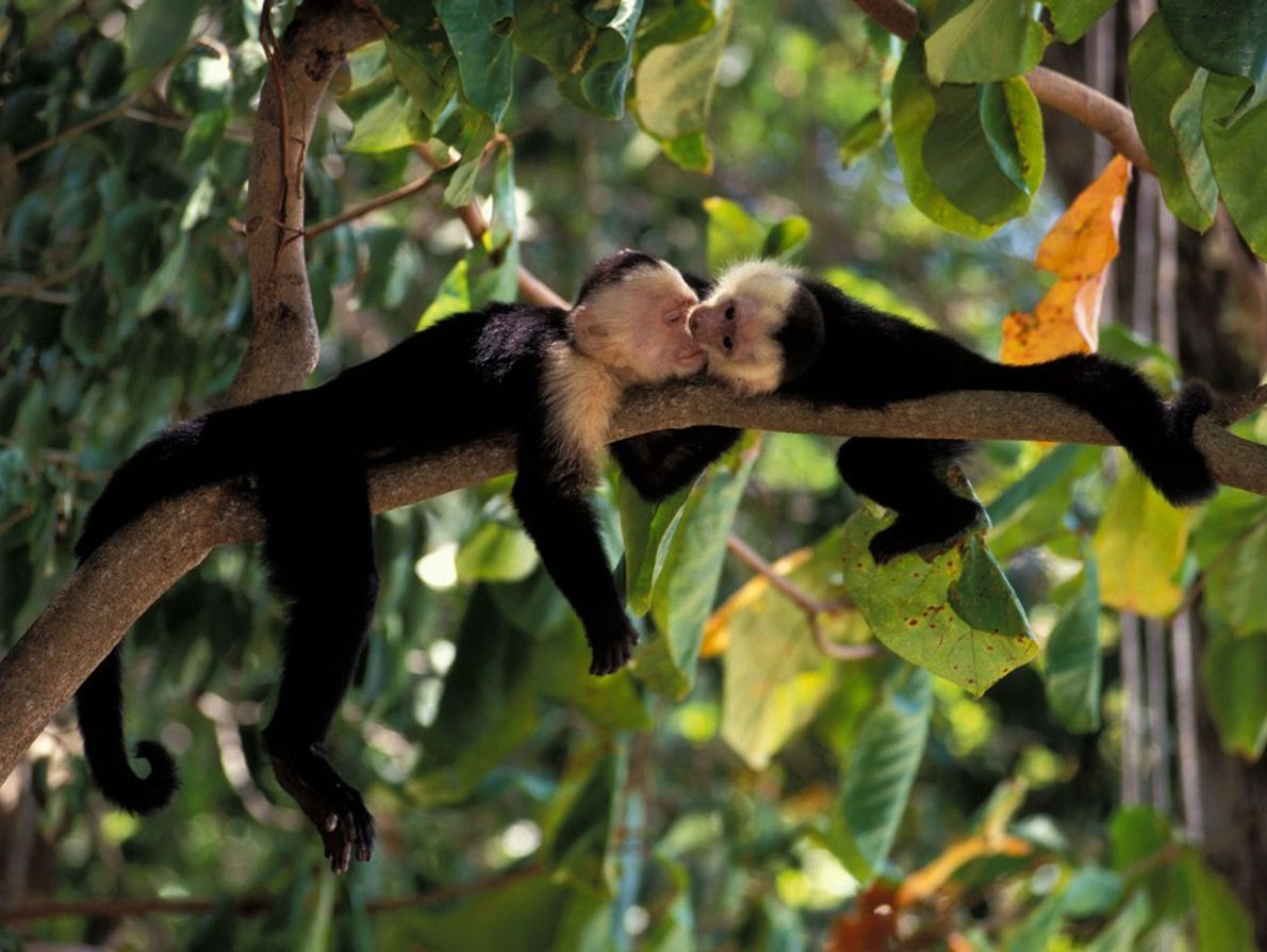 Baby white-faced capuchin monkeys play in a Costa Rican rainforest. Unlike these familiar faces, the majority ...
