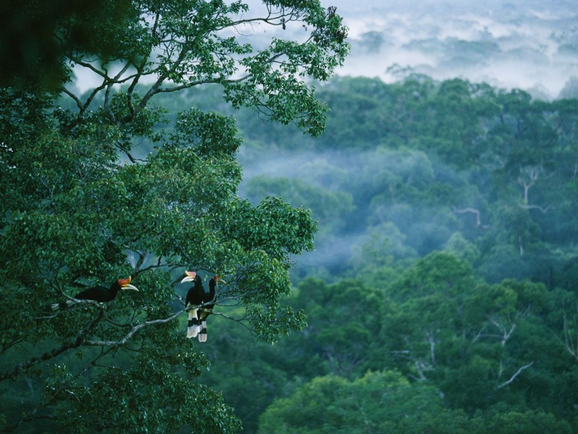 The rhinoceros hornbill is named for its characteristic 'casque', the strange structure situated on top of ...