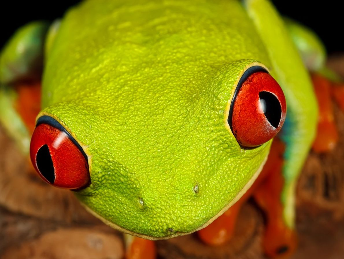 The red-eyed tree frog is an icon of the Central American rain forest. When asleep, it's ...