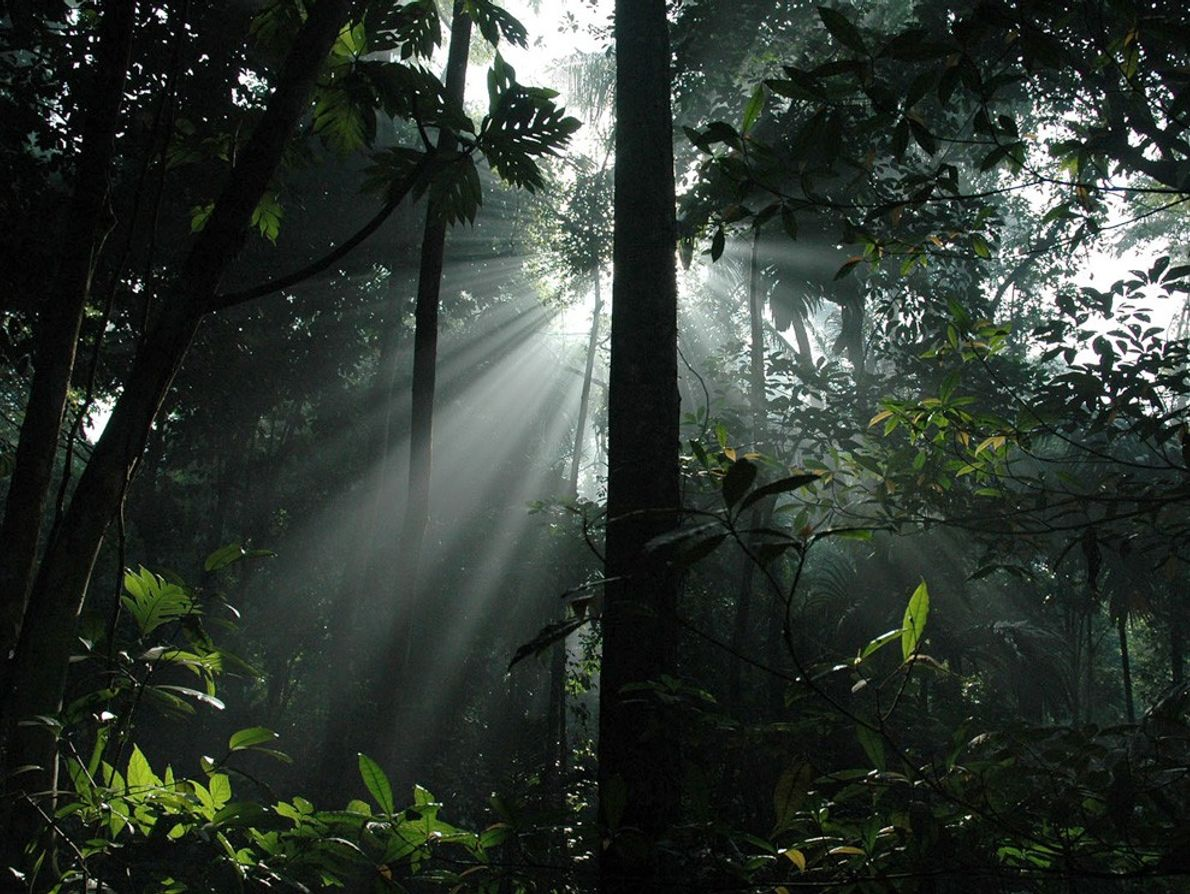 Sunny rays penetrate the canopy of an Indonesian rain forest on Nias Island. Rain forests are ...