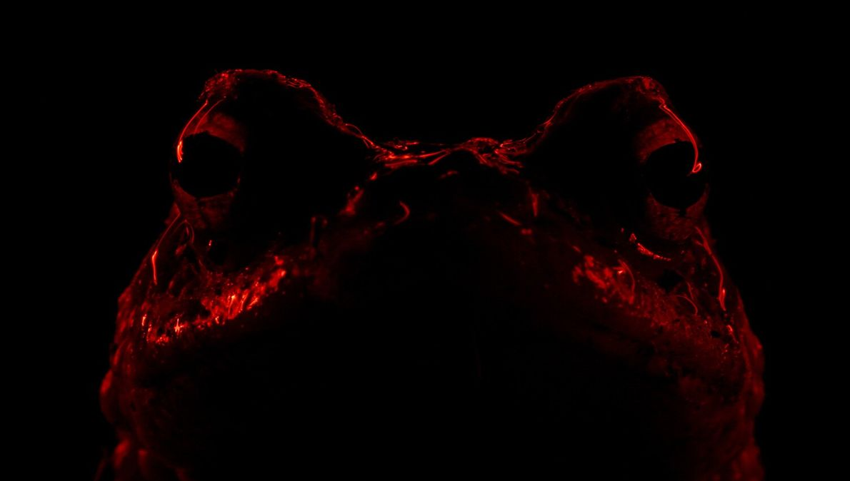 Fit for a horror film poster, this photograph of a common toad at night with a ...