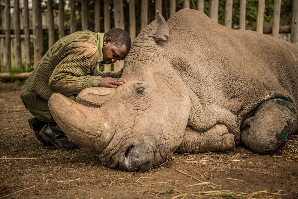 Picture of a man comforting a dying northern white rhino named Sudan