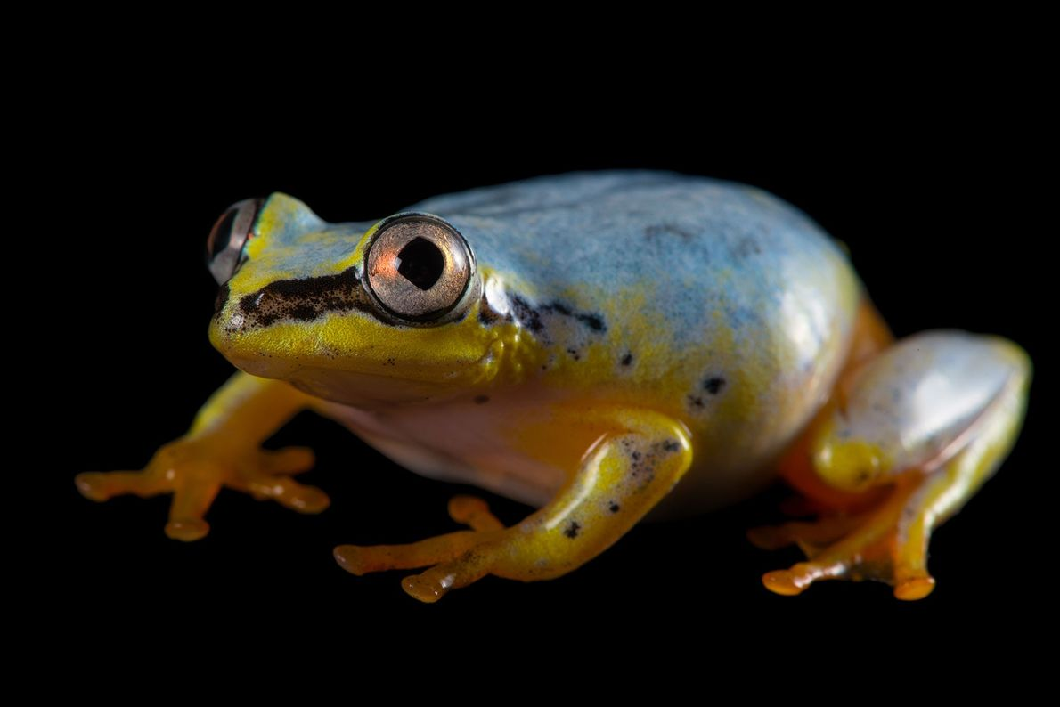 A Madagascar reed frog (Heterixalus madagascariensis) at the Plzen Zoo.