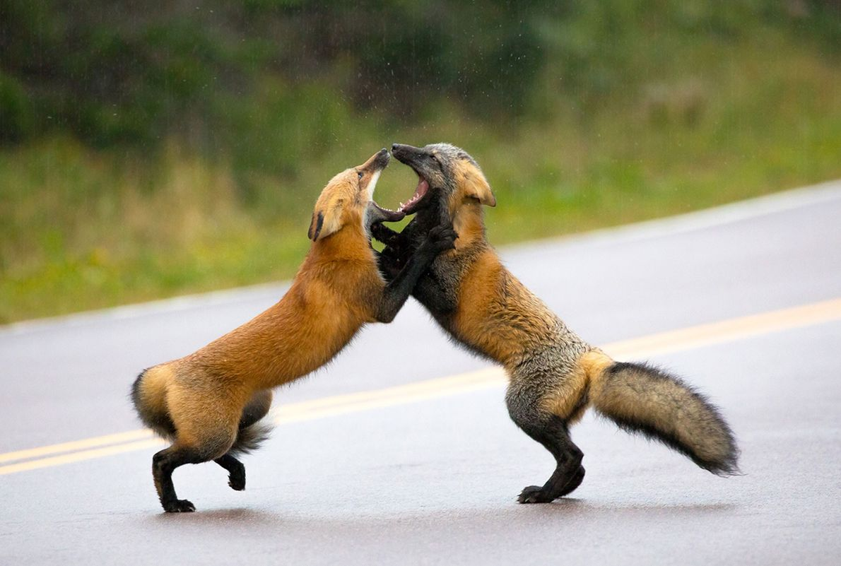 Red foxes duke it out.