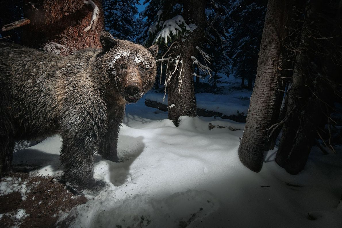 A camera trap near Yellowstone National Park catches a grizzly bear stealing whitebark pine nuts from ...