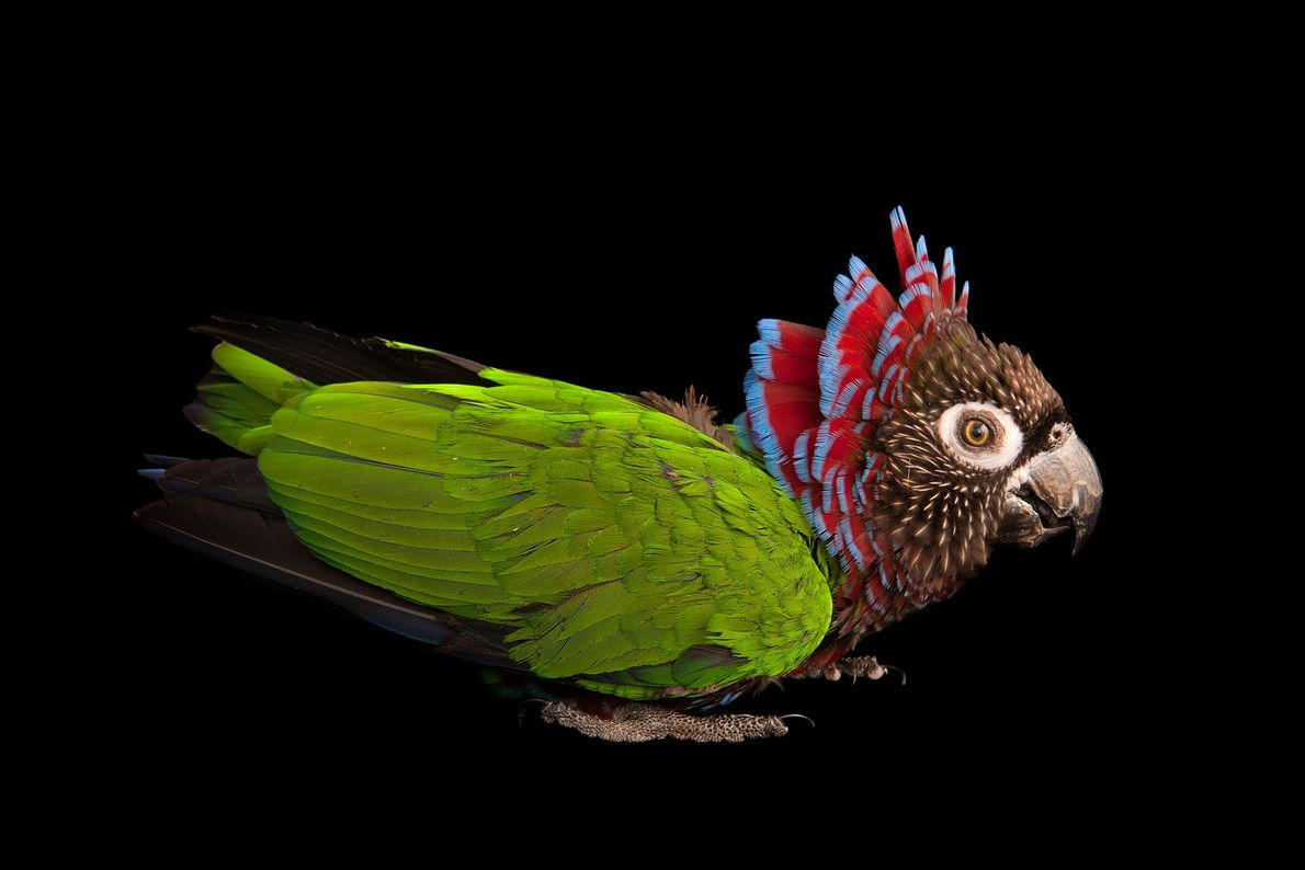 Brazilian hawk-headed parrot, Rare Species Conservatory Foundation, Florida, United States.