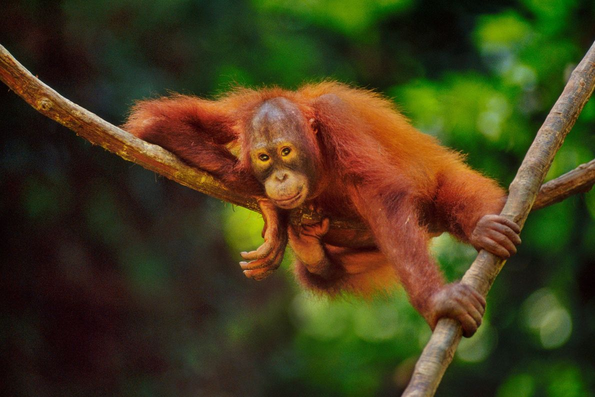 A Bornean orangutan rests on a woody vine called a liana in the Sepilok Reserve in ...