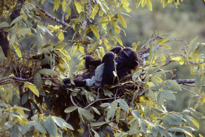Nesting chimpanzee seeks solace by chewing on a towel he stole from the author.