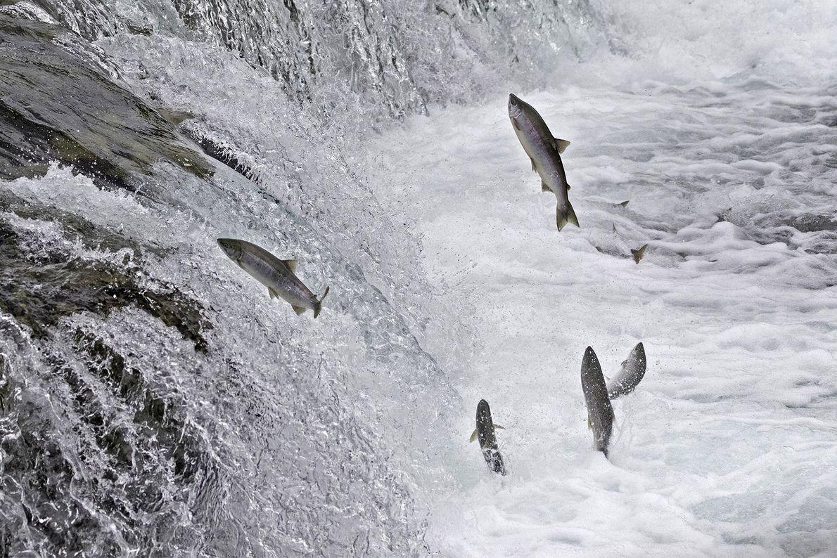 Sockeye salmon jump their way upstream during their migration to spawn in King Salmon, Alaska.