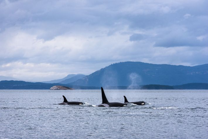 Orcas frequent the fish-rich waters of British Columbia's coastline year-round, and can grow up to 32 feet ...