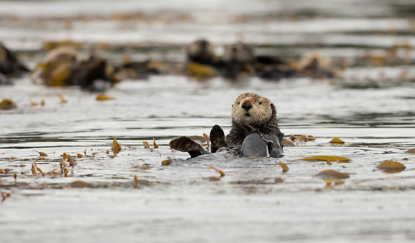 A sea otter by Spring Island by Kyuquot Sound. There are roughly 5000 sea otters in British ...