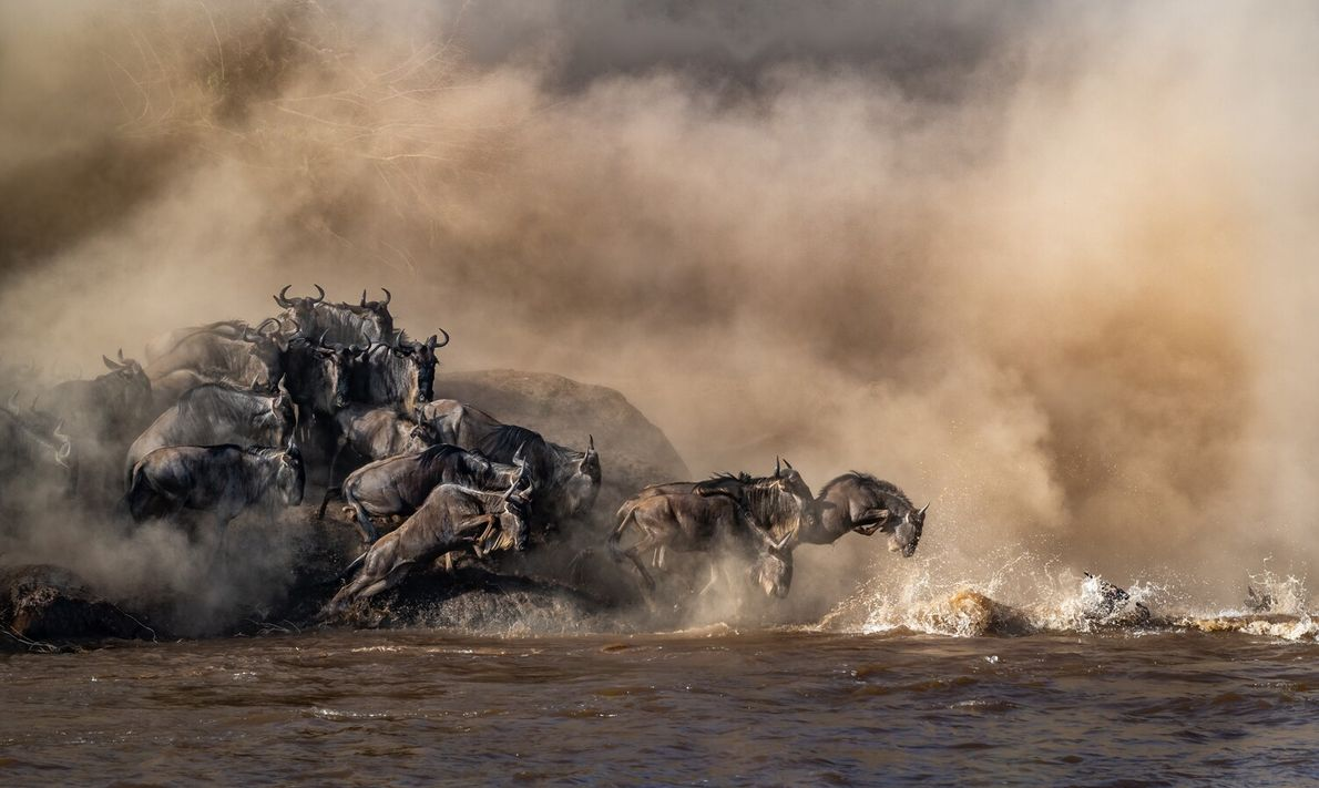 The migration of thousands of wildebeest across the Mara River on their journey north towards the ...