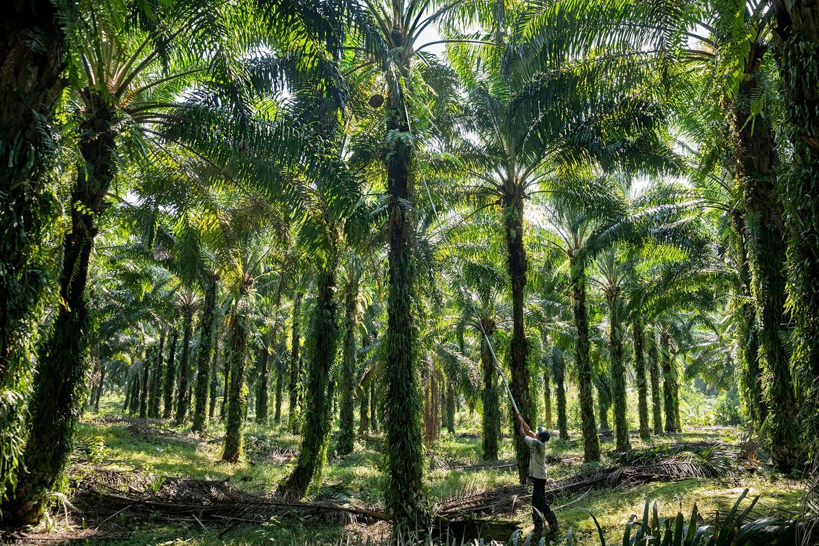 A worker harvests palm fruit on a plantation in Sarawak, one of two Malaysian states on ...