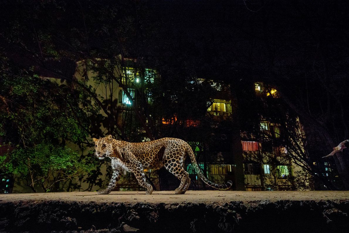 Lit by a camera-trap flash and the glow of urban Mumbai, a leopard prowls the edge ...