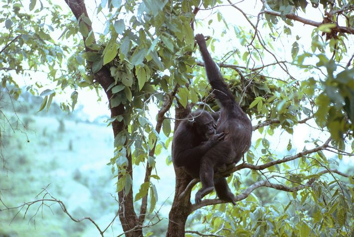 Balancing in a tree, apes groom each other. Remarkably free of fleas, these chimps pick out ...