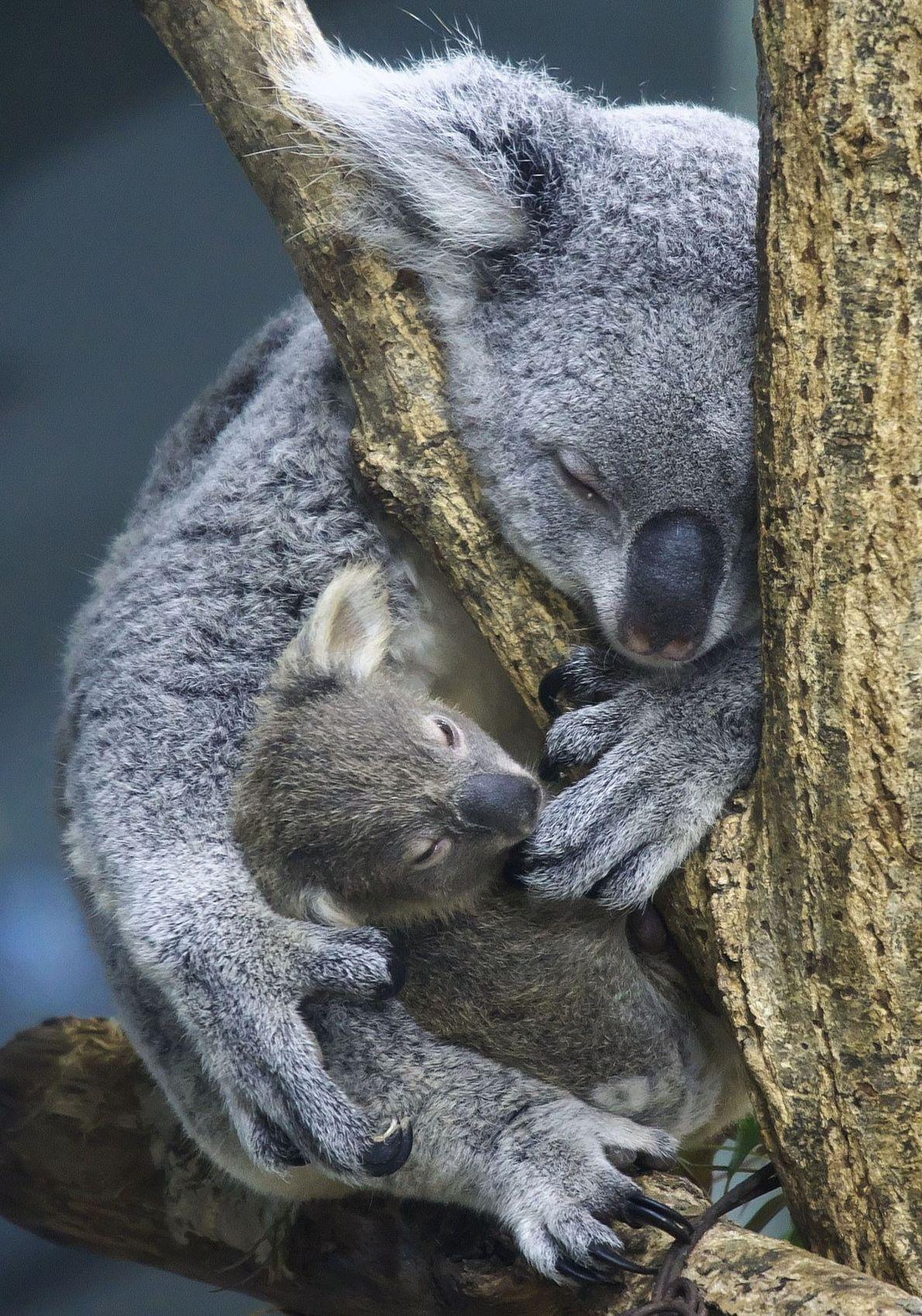 The unmistakable koala.